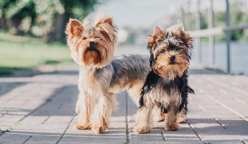Der kleine Yorkshire Terrier hat in seiner Geschichte eine traumhafte Karriere hingelegt, die im englischen Norden begann. ( Foto: Shutterstock-OlgaOvcharenko )