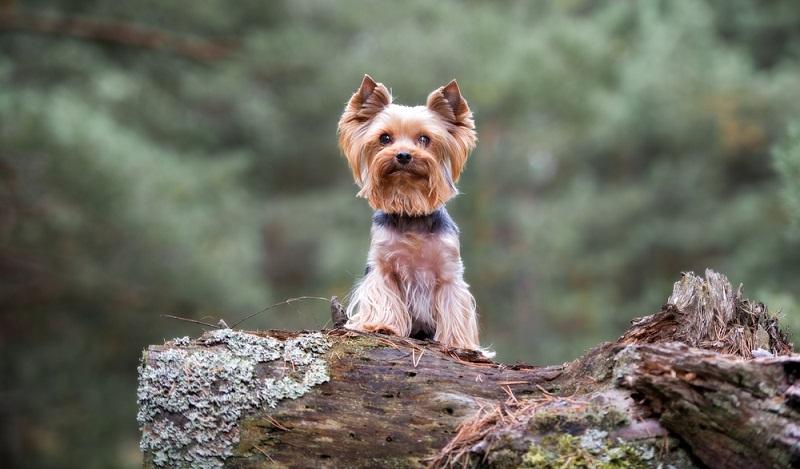 Seriöse Yorkshire Terrier Züchter sind Mitglied in einem Yorkshire Terrier Club, der dem VDH (Verband für das Deutsche Hundewesen) angeschlossen ist. ( Foto: Shutterstock-otsphoto)