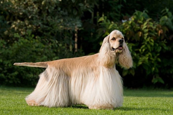 Eine zu lange Haarpracht erschwert dem Cocker Spaniel das Laufen. (Foto: shutterstock.com / Lenkadan)