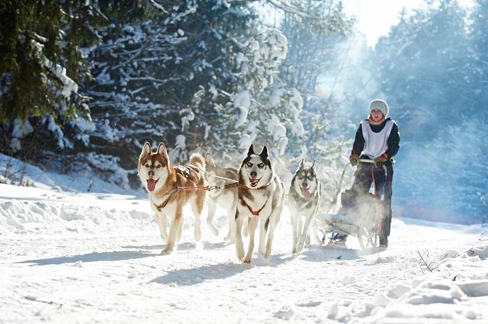 Vor einen Schlitten gespannt fühlt sich der Husky extrem wohl (Foto: shutterstock.com / Dmitry Kalinovsky)