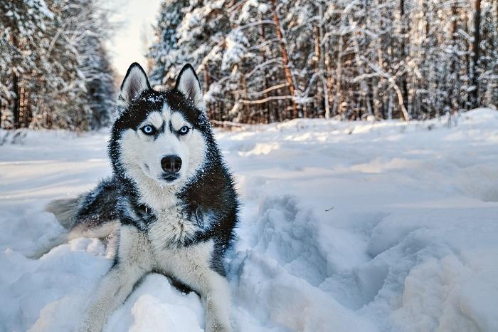 Sein wolliges aber recht kurzes Fell macht die Pflege des Huskys denkbar einfach. (Foto: shutterstock.com / Konstantin Zaykov)
