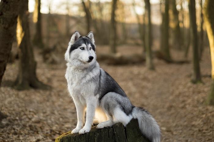 Der Husky hat einen hohen Wiedererkennungswert. (Foto: shutterstock.com / Kateryna Orlova)