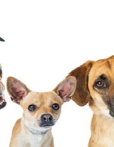 Mischlinge: Diese Mischlingshunde sind die beliebtesten ( Foto: Shutterstock-Susan Schmitz )
