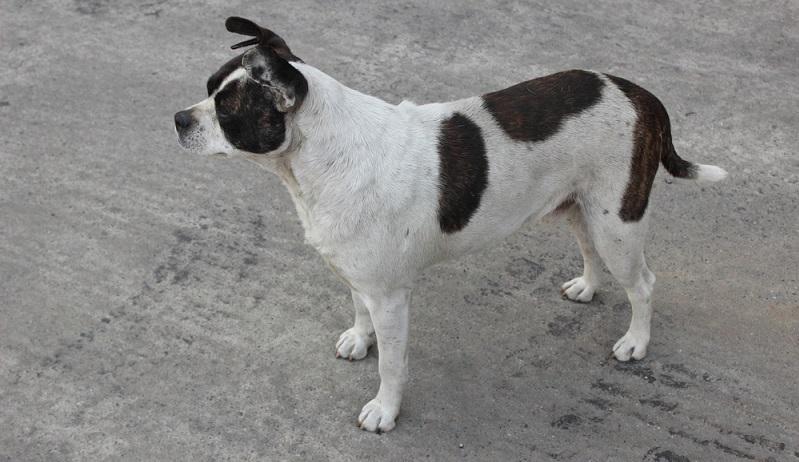 Boxer Mischlinge sind häufig beim Tierschutz zu finden.  ( Foto: Shutterstock-_MZinchenko )