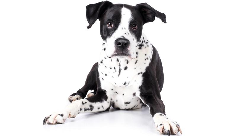 Bei einem Mischling aus Dalmatiner und Boxer sind beide Elterntiere meist deutlich zu sehen. ( Foto: Shutterstock-SikorskiFotografie)