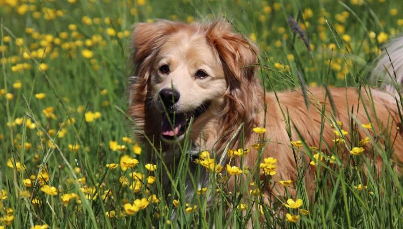 Einer der beliebtesten Mischlinge mit einem Golden Retriever ist der Goldador, wobei das zweite Elterntier ein Labrador ist. ( Foto: Shutterstock-Runa0410)