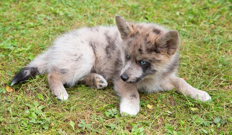 Reinrassige Huskys brauchen viel Auslauf und sind schwierig zu erziehen. Daher entscheiden sich Husky-Liebhaber häufig für einen Mischling, bei dem nur ein Elternteil ein reinrassiger Husky ist. ( Foto: Shutterstock- Fedor Selivanov  )
