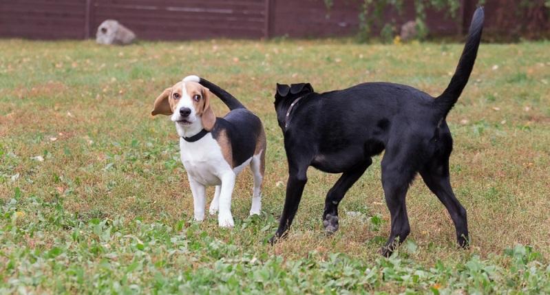 Der Pomeagle ist ein äußerst beliebte Beagle Mischling.  ( Foto: Shutterstock-  Tikhomirov Sergey )
