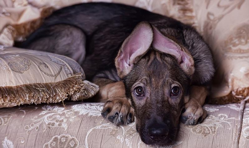 Mischlinge mit dem Deutschen Schäferhund sind äußerst loyale Hunde. ( Foto: Shutterstock- Anna Krivitskaya )