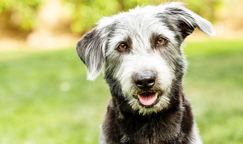 Unterarten des Terriers gibt es viele. Die kleinen Hunderassen werden gleichermaßen gerne für Kreuzungen genutzt. ( Foto: Shutterstock-Susan Schmitz)