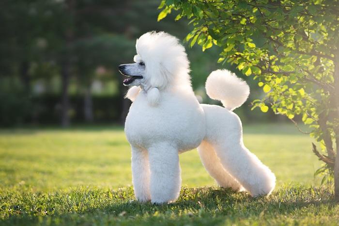 Das Haarkleid des Pudels sollte regelmäßig geschoren werden. Dieser Schnitt wird heute eher aus ästhetischen Gründen verwendet. (Foto: shutterstock.com / AntonMaltsev)