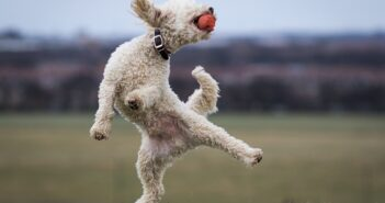 Pudel: Familienhund mit unwiderstehlichem Charme (Shutterstock.com / Darren William Hall)