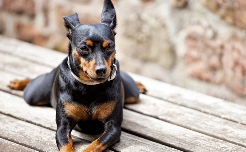 Wer sich mit dem Gedanken befasst, einen Hund zu adoptieren sollte sich über die lange Lebensdauer der Zwergpinscher bewusst sein. ( Foto: Shutterstock- Fulcanelli )