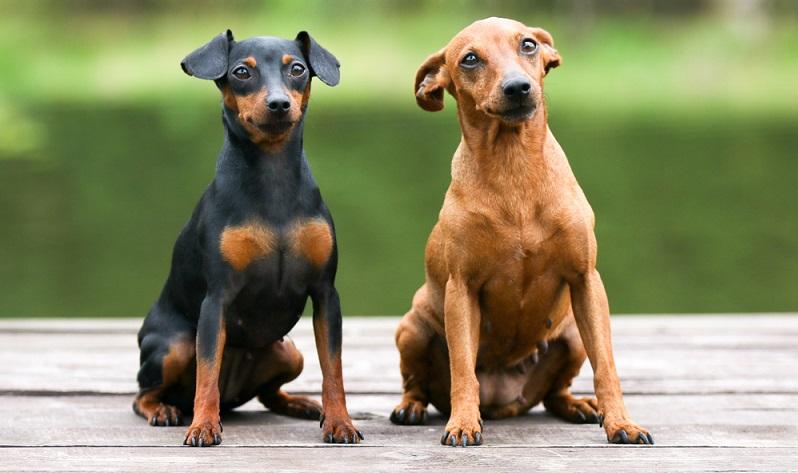 Der Zwergpinscher ist ein Nachkomme einer früher in Mitteleuropa sehr verbreiteten klassischen Hunderasse.  ( Foto: Shutterstock-  Lisjatina  )
