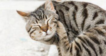 Katzenakne - Eine häufig auftretende Hauterkrankung bei Katzen