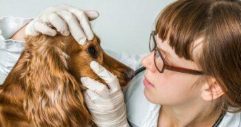 Augenentzündung beim Hund: Euphrasia D6 Globuli und Augentropfen gegen Bindehautentzündung (Konjunktivitis) geben?