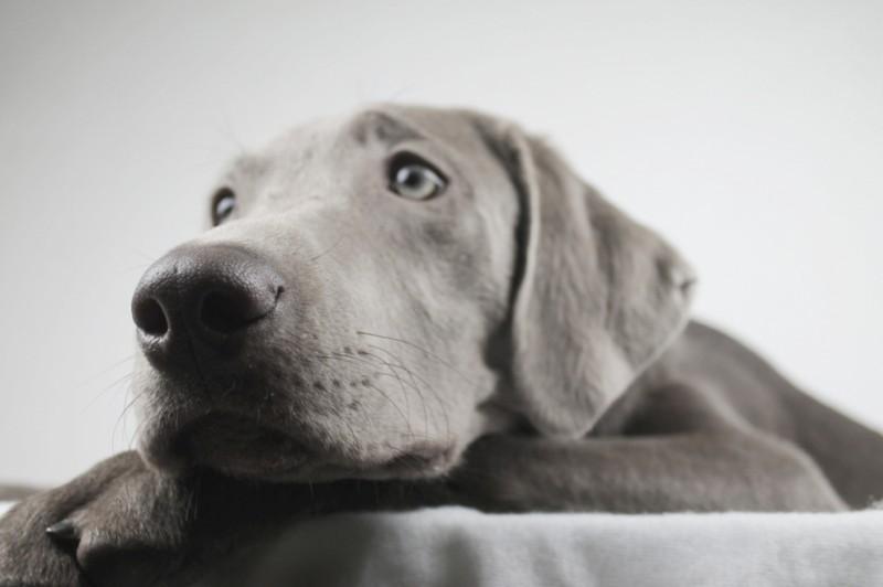 Einige Züchter haben sich spezialisiert Labradore auch mit silbener Fellfarbe zu züchten. (#2)