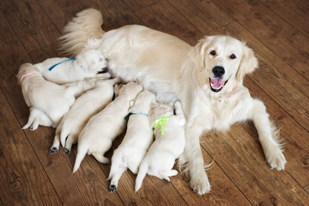 Im Gegensatz dazu hier: Die Welpen sind mit der Mutter im Haus. Man kann die Welpen auch schon Wochen vor der Abgabe besuchen - und Mutter und Vater dabei begutachten. (#02)