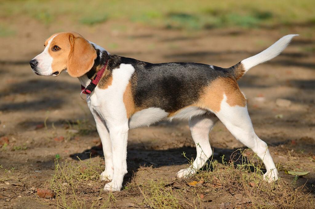 Der Beagle: Zutraulich, charmant und immer gut gelaunt ist er ein absolut toller Begleiter. (#10)