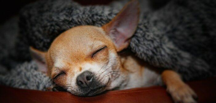 Chihuahua: darum ist er der beliebteste Kleinhund der Welt