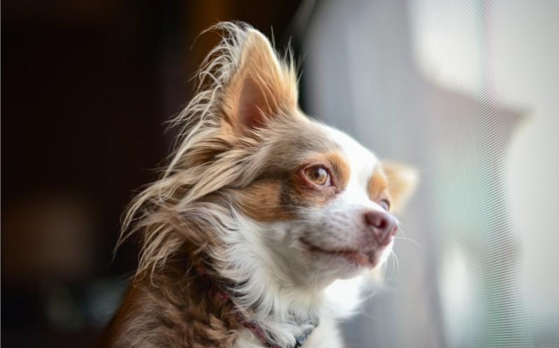 Das Fell der Langhaar-Chihuahuas muss regelmäßig gut durchgebürstet werden. (#2)