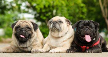 Mops: ein Hund mit Niedlichkeitsfaktor. Das steckt noch in ihm!