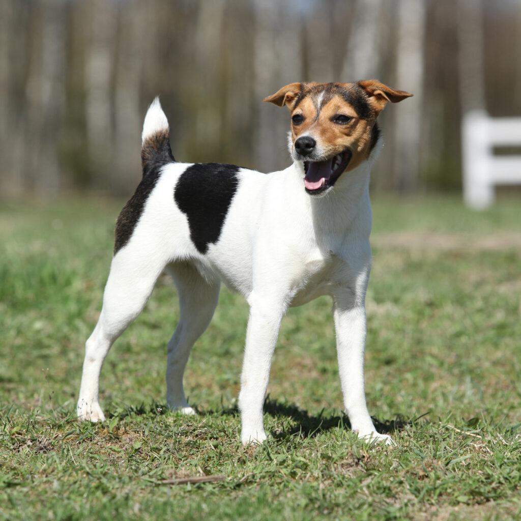 Parson Russell Terrier ist meist fröhlich und kommt auch mit kleinen Kindern super zurecht. (#08)