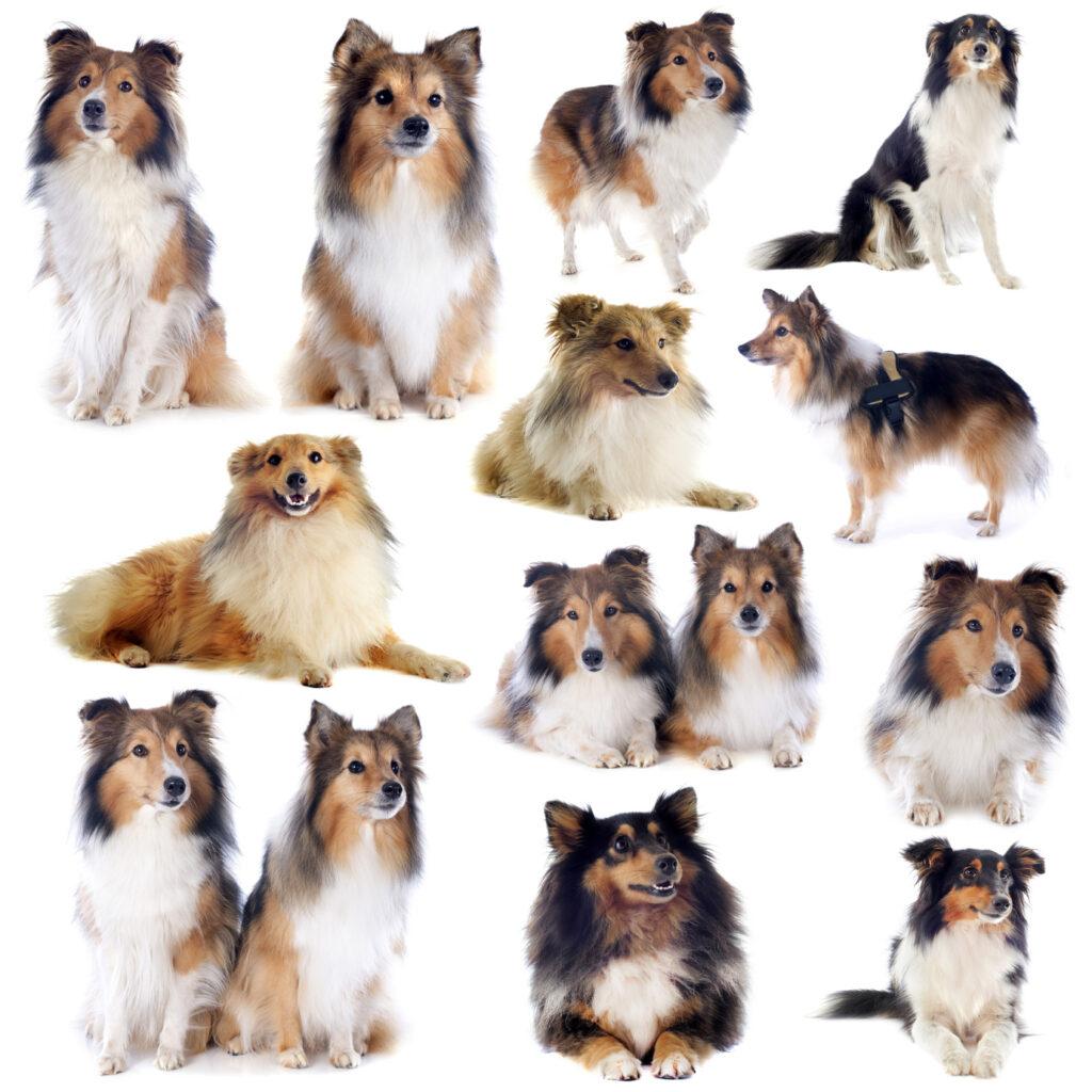 Der Shetland Sheepdog (auch Sheltie) ist ein temperamentvoller und schlauer kleiner Hund. (#05)