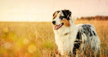 Australian Shepherd: einer der vielseitigsten und klügsten Hunde im Portrait