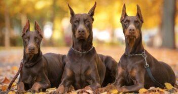 Dobermann: ein temperamentvoller und stattlicher Hund im Rasse-Portrait