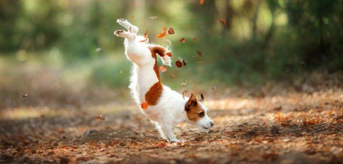 Jack Russel Terrier: kein Hund für schwache Nerven, aber ein toller Begleiter für aktive Menschen