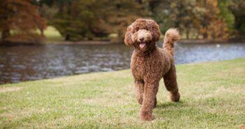 Labradoodle: ein Hund für Allergiker