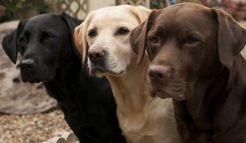De Labrador gibt es in drei verschiedenen Fellfarben: schwarz (der klassische Labrador), schokoladenbraun (chocolate, braun,  leberfarbend ) und gelb (hell). (#1)