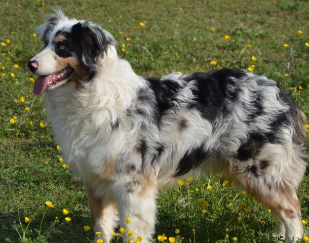 australian shepherd einer der vielseitigsten und kl gsten hunde im portrait. Black Bedroom Furniture Sets. Home Design Ideas