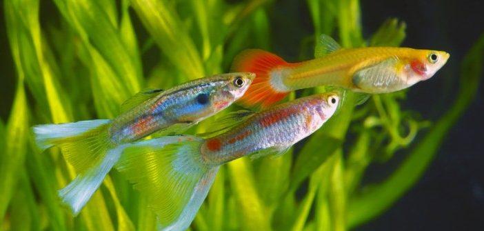 Brustflossen-Parade: Die 5 schönsten Süßwasserfische fürs Aquarium
