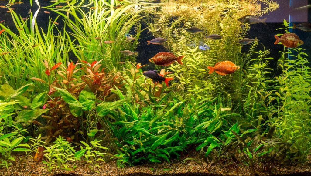 Süsswasserfische wunderschön und beruhigend anzuschaun