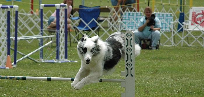 Deutsche IRJGV-Agility-Meisterschaft 2015: Agilityhunde im Biebricher Schlosspark