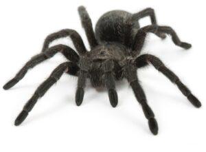 Wie alt wird eine Spinne? (#1)