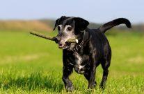Schwarze Hunde: Warum will keiner einen schwarzen Hund?