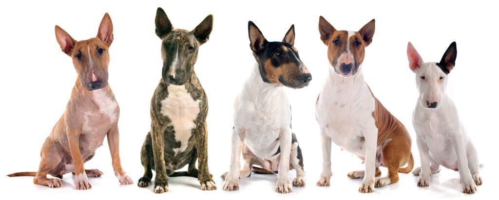 American Pit Bull Terrier in verschiedenen Farben: Auch diese Rasse zählt zu den Kampfhunden. (#04)