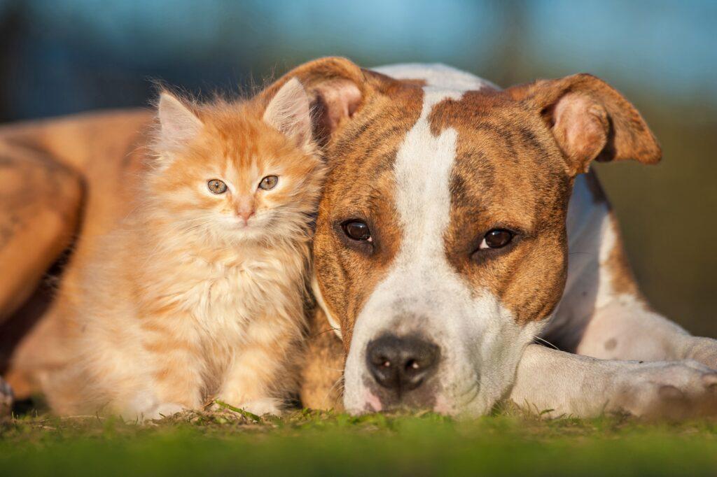 American Staffordshire Terrier: So gefährlich schaut dieser Kampfhund doch nun wirklich nicht aus? Oder? (#03)