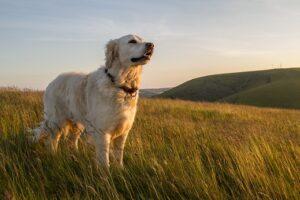 Hunde sind ja bekanntlich Fleischfresser und können in der Regel, Getreide gar nicht oder nur schlecht verwerten. (#01)