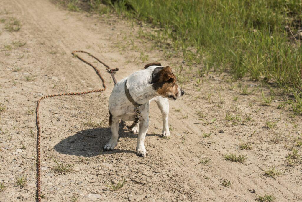 Dieser kleine Kerl bekommt von seinem Hundeführer jetzt beigebracht an der Schleppleine zu sein