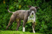 Kampfhunde: Wie gefährlich sind sie wirklich?