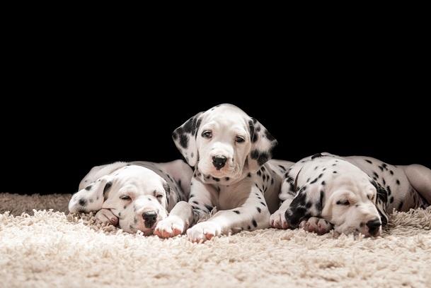 Dalmatiner: Ein Familienhund durch und durch: Wenn ihr euch diese Welpen anschaut, kann man sich doch nur verlieben: