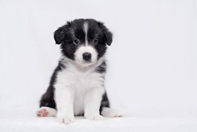 Border collie: Wie hier in diesem Bericht beschrieben ein wunderbarer Familienhund.