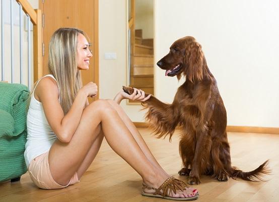 Irish setter: Ein toller Familienhund, allerding sagt man sie hätten nicht so ein langes Leben.