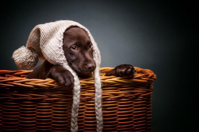 Hunderassen für Familien: Der Labradorwelpe gehört auf jeden Fall dazu.