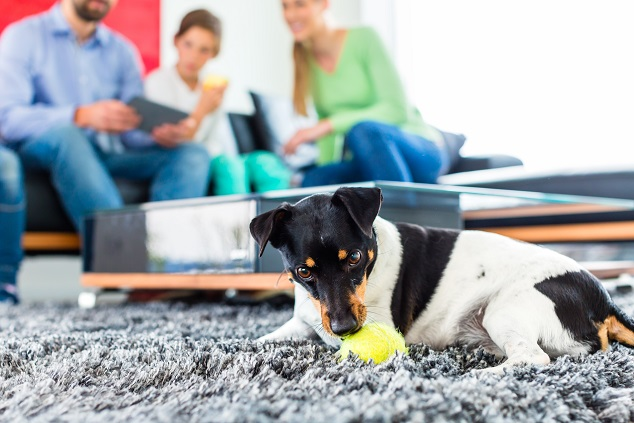 Der Jack Russel wird zwar gern auch als Jagdhund genommen, trotzdem ist er auch ein wunderbarer Familienhund. (#05)
