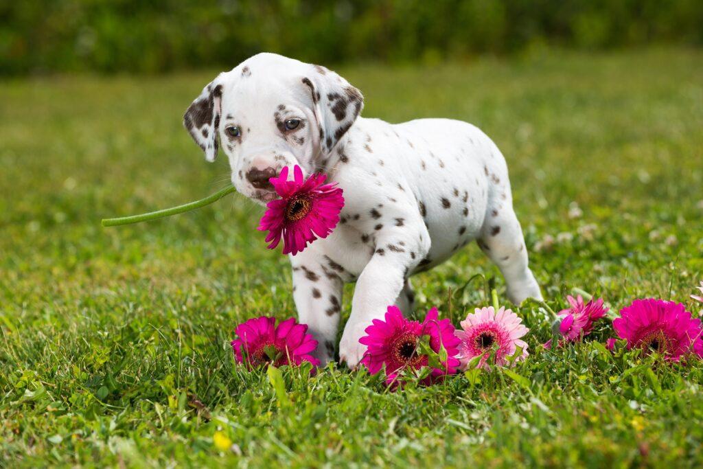 Dalmatinerwelpe: Egal welcher Welpe sie sind süß. Nur leider gibts dubiose Geschäftemacher die nur an den Verdienst denken